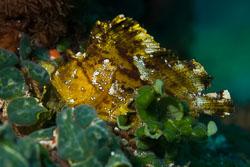 BD-161101-Pura-4437-Taenianotus-triacanthus.-Lacepède.-1802-[Leaf-scorpionfish].jpg